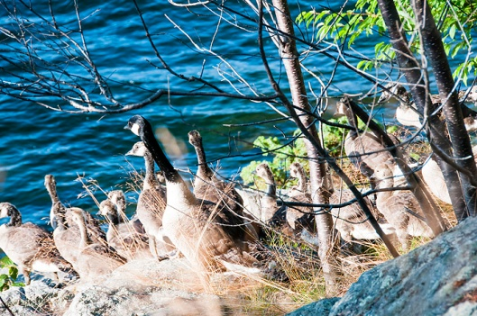 Camelot Island Canadian Geese